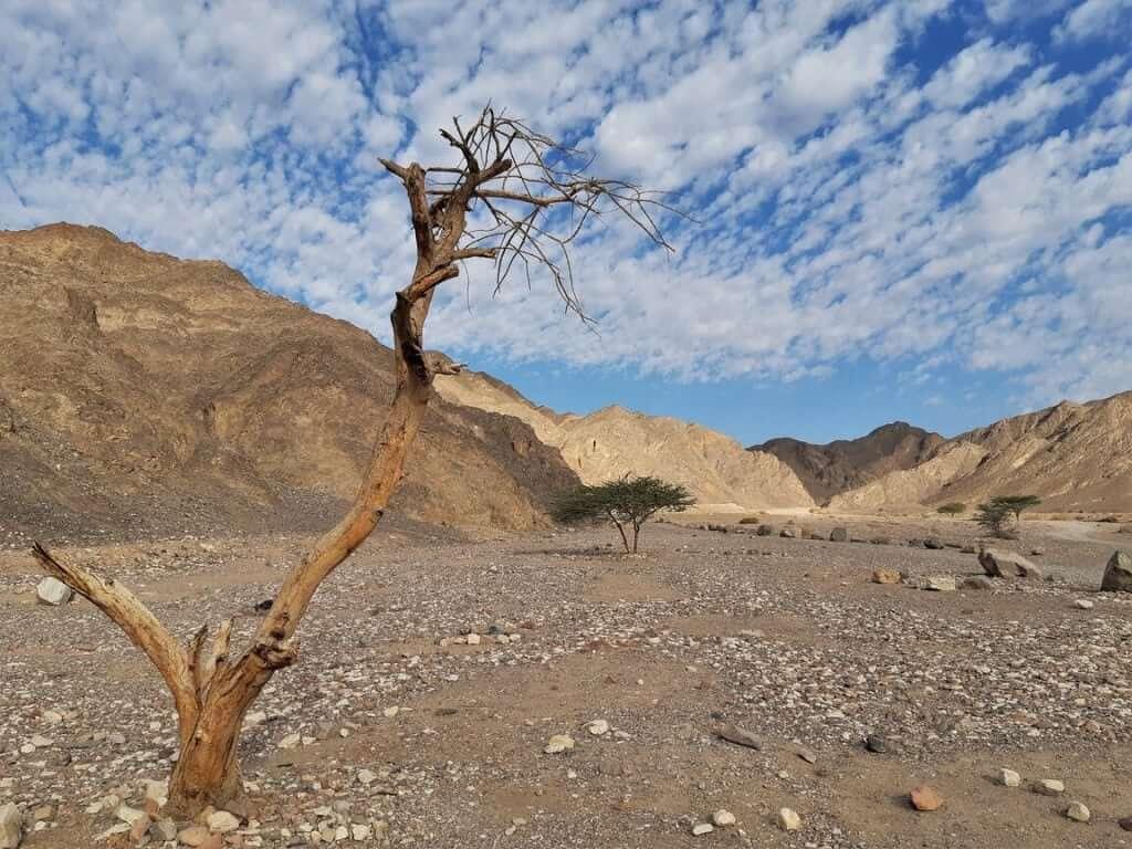 עץ שיטה יבש ליד הקניון האדום בהרי אילת